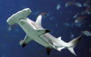 070522_sharks_hmed_5p.grid-6x2