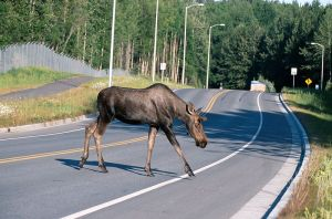 800px-Moose_crossing_a_road