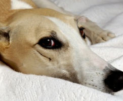 dog_greyhound_sad_270x224