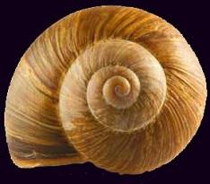 SnailShell45