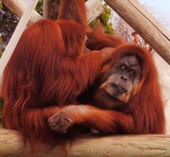 orangutans-grooming-didi-higginbotham