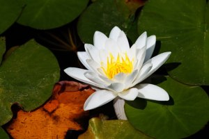 white-water-lily